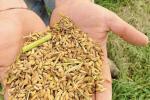 Boom di richieste per il riso: ma preoccupa quello in arrivo dall'Asia