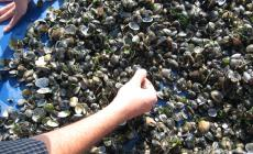 Arriva il regolamento che autorizza a pescare e commercializzare vongole più piccole