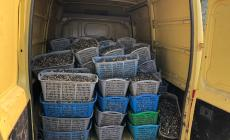 Sequestrate ben 215 ceste di semina da vongole