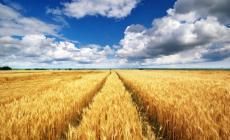 Crisi del grano, cinquemila aziende sul lastrico