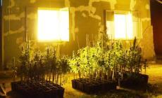 Coltivavano marijuana in casa: sequestrate le piante