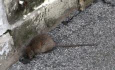 """Partita la derattizzazione dell'asilo, """"ma quanto sono resistenti questi topi"""""""