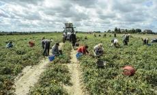 Lavatori in nero nelle aziende agricole