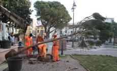 Quattro nuovi pini ripiantati in piazza XX Settembre