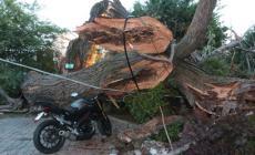 A Palazzo Rosso crolla un grosso albero: paura