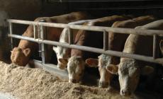 """Pd contro gli allevamenti intensivi: """"Mangiare meno carne"""""""