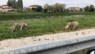 A Baricetta tre lupi cecoslovacchi sull'argine