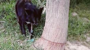Cane incatenato senza cibo né acqua