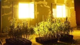 Ristoratori beccati con una serra per coltivare marijuana in casa