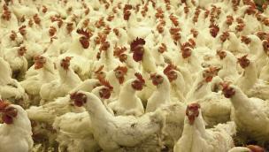 """""""Allevamenti di polli nel Parco del Delta del Po"""""""
